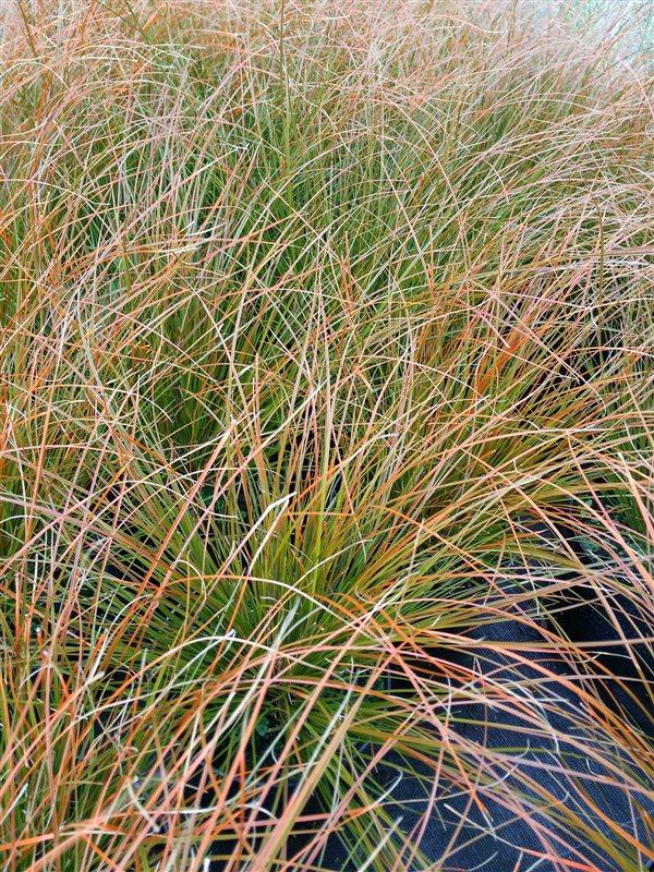 Carex testacea picture 2