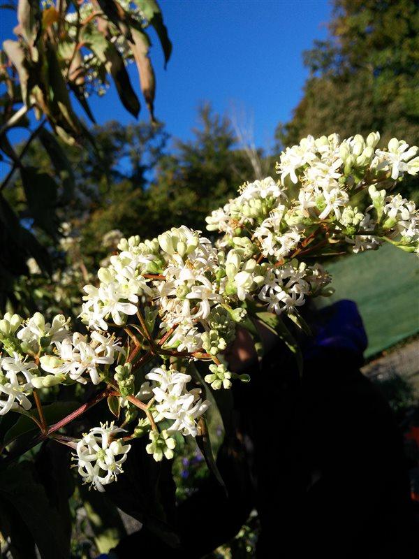 Heptacodium miconioides picture 2
