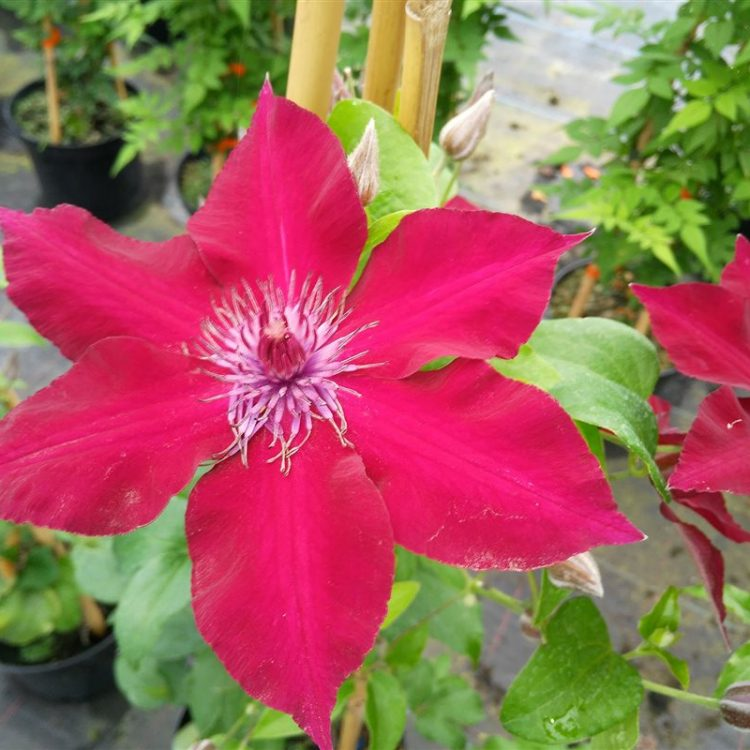 Clematis boulevard Nubia picture 4