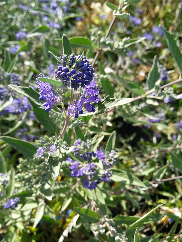 Caryopteris cland. 'Kew Blue' picture 2