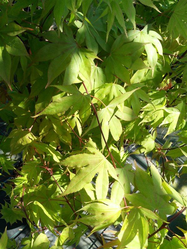 Acer pal. 'Osakazuki' picture 2