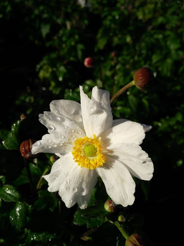 Anemone hyb. 'Snow Angel' picture 2