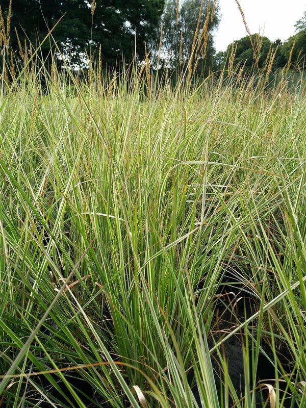 Calamagrostis acut. 'Overdam' picture 3