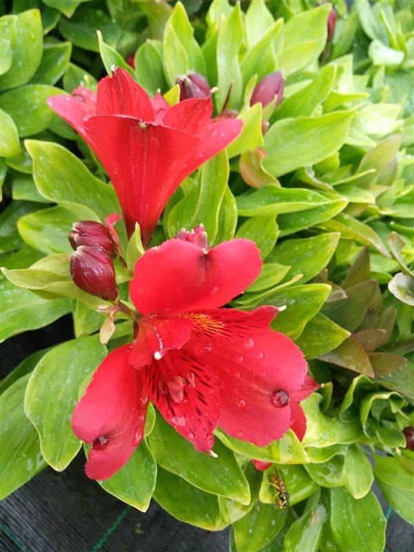 Alstroemeria Inca 'Vito' picture 4