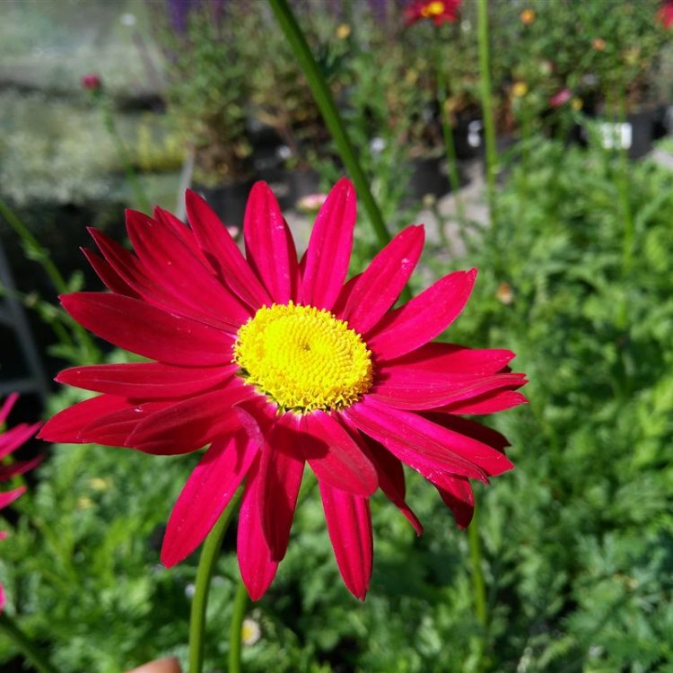 Tanacetum (C) 'Robinson's Red' picture 2
