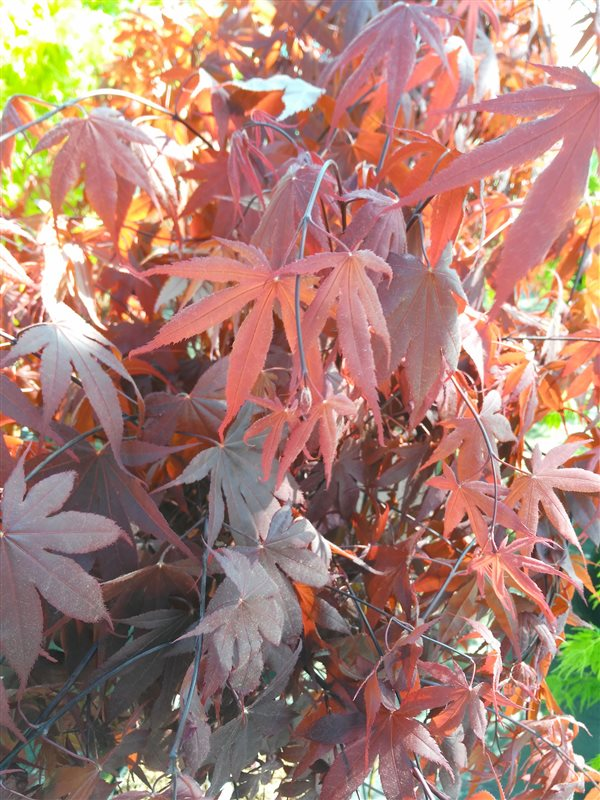Acer pal. 'Bloodgood' picture 4