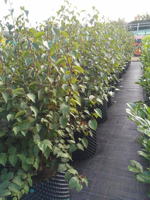 Betula albosin. 'Fascination'