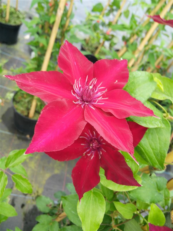 Clematis boulevard Nubia picture 2