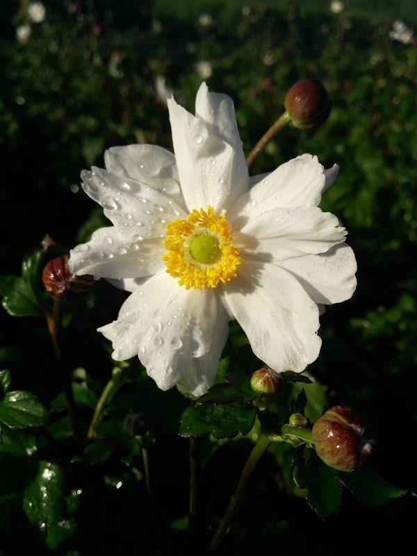 Anemone hyb. 'Snow Angel'