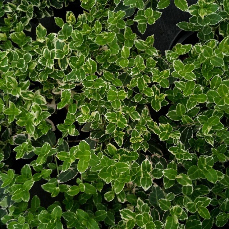 Euonymus fort. 'Emerald Gaiety' picture 2