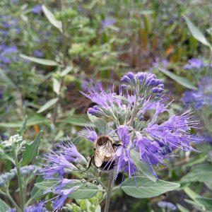 Caryopteris cland. 'Kew Blue'