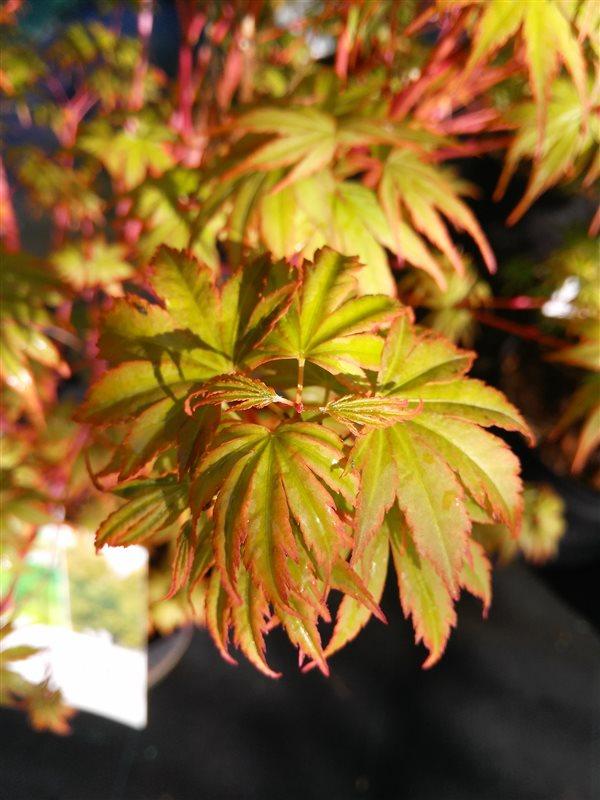 Acer pal. 'Orange Dream' picture 5