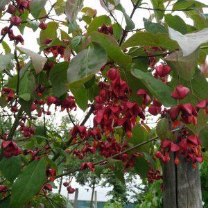Euonymus europaeus Red Cascade