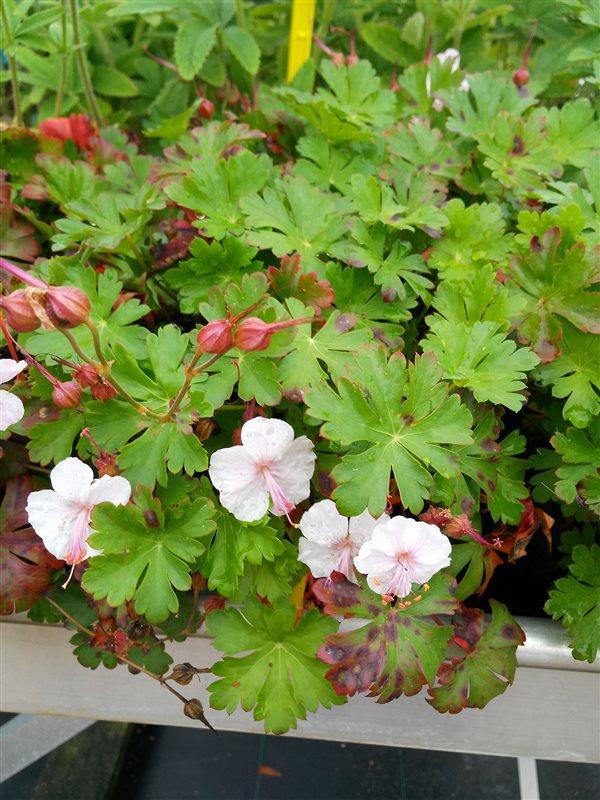 Geranium cantabrig. 'Biokovo'