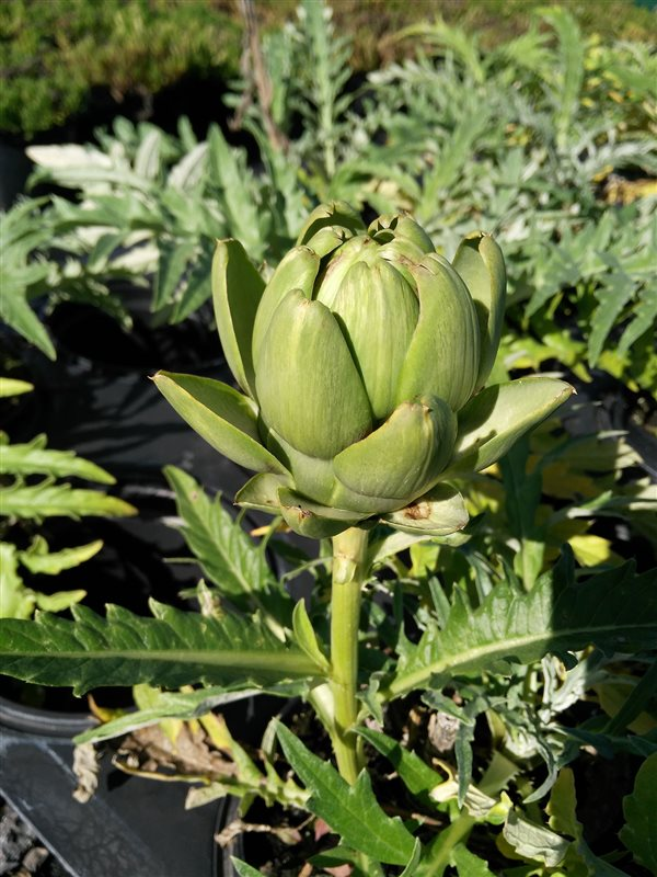 Cynara scolymus picture 4