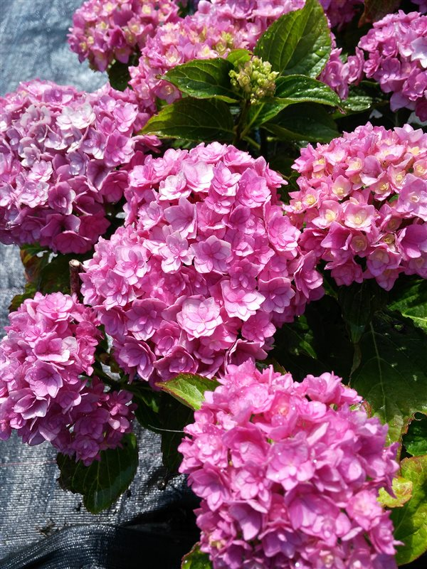 Hydrangea m. Together picture 4