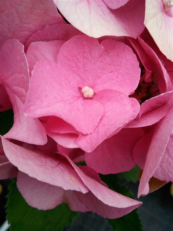 Hydrangea macro. 'Teller Red' picture 3
