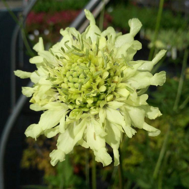 Cephalaria gigantea picture 2