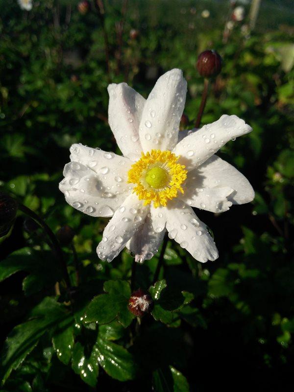 Anemone hyb. 'Snow Angel' picture 4