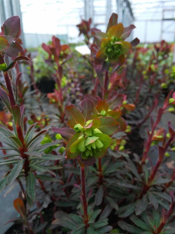 Euphorbia amygdal. 'Purpurea' picture 2
