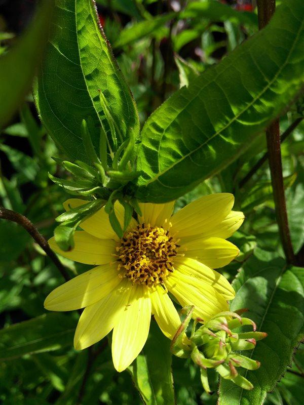 Helianthus 'Lemon Queen' picture 2