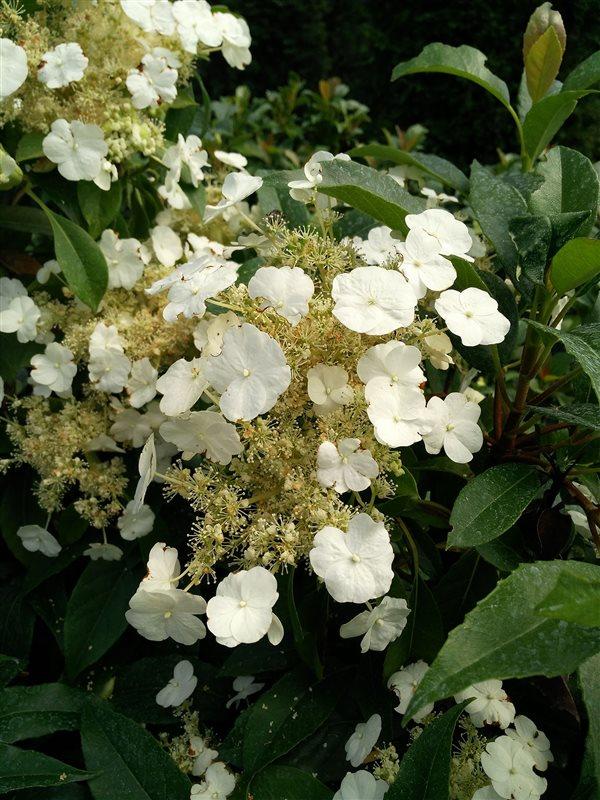 Hydrangea seemanii picture 4