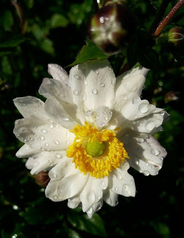 Anemone hyb. 'Whirlwind'