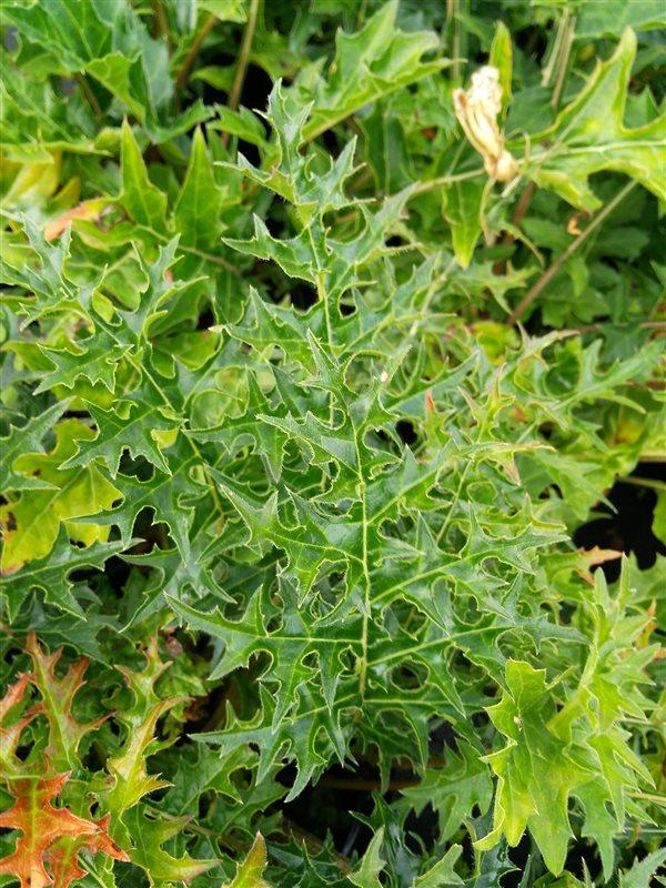 Acanthus spinosus picture 6
