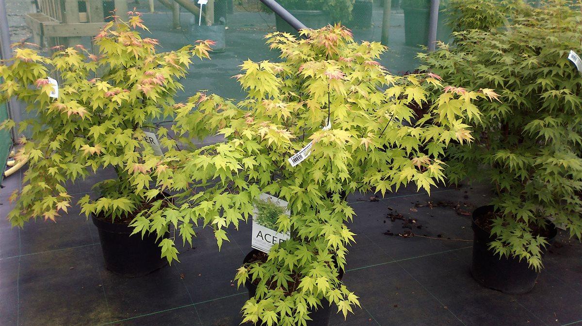 Acer pal. 'Orange Dream' picture 6