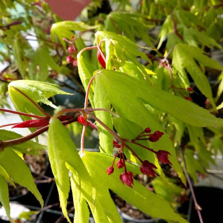 Acer pal. 'Osakazuki' picture 3