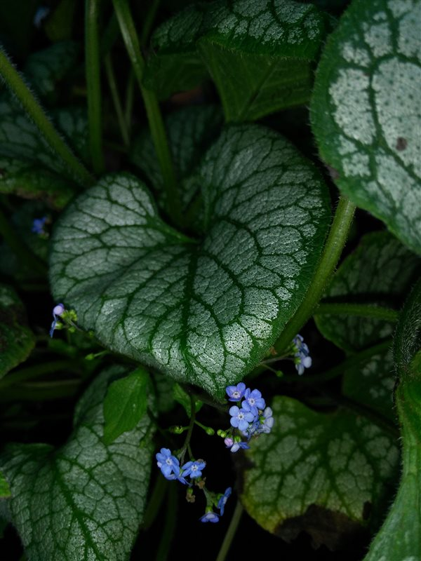 Brunnera macr. 'Jack Frost' picture 4