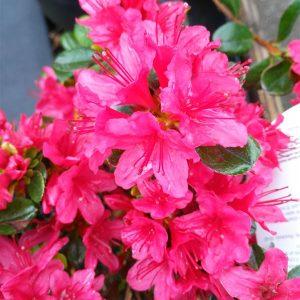 Azalea  japonica in cultivar*