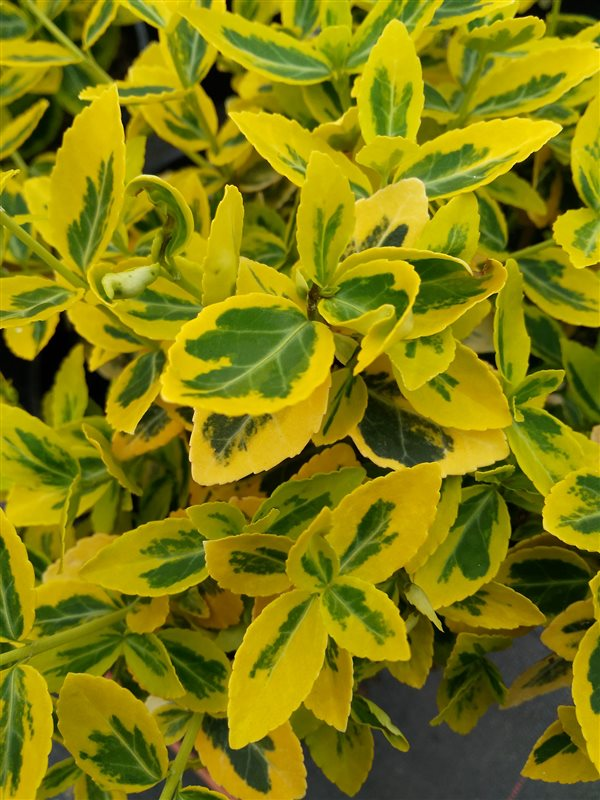 Euonymus fort. 'Emerald 'n' Gold'