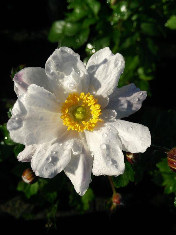 Anemone hyb. 'Snow Angel' picture 3