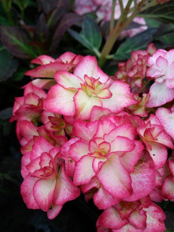 Hydrangea m. 'Miss Saori' picture 2