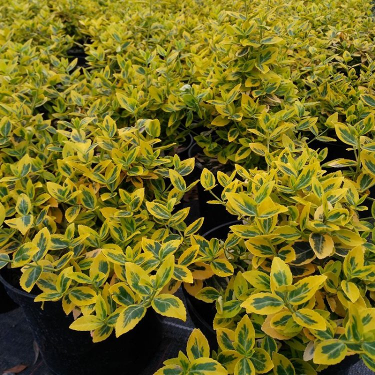 Euonymus fort. 'Emerald 'n' Gold' picture 2