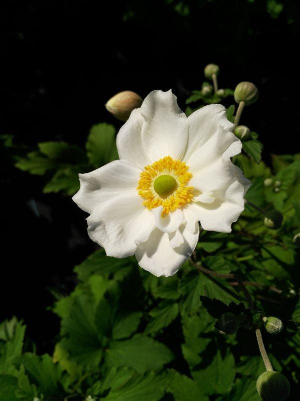 Anemone hyb. 'Honorine Jobert' picture 2