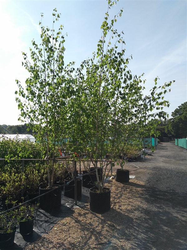 Betula utils jacquemontii