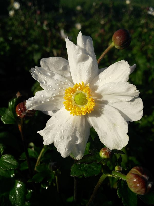 Anemone hyb. 'Snow Angel' picture 5