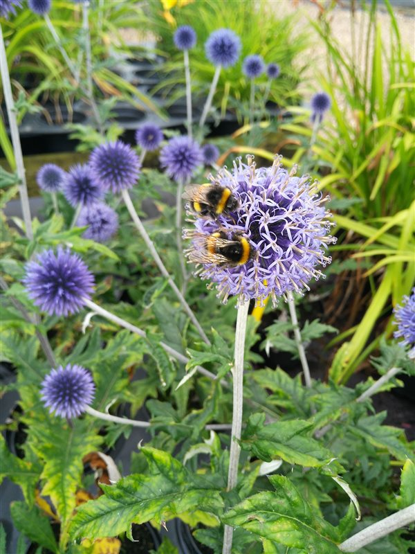 Echinops ritro Veitch's Blue picture 3