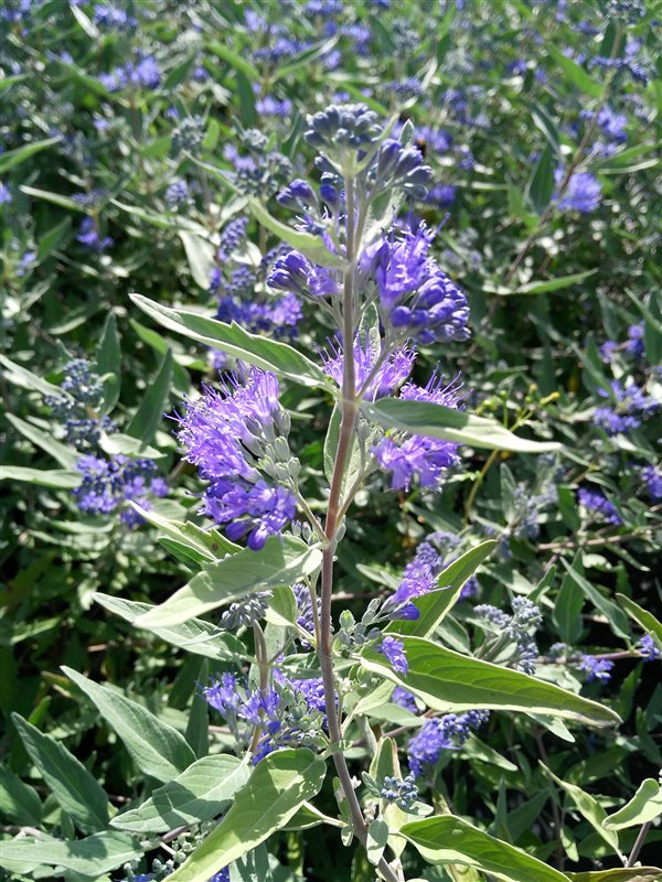 Caryopteris cland. 'Dark Knight' picture 2