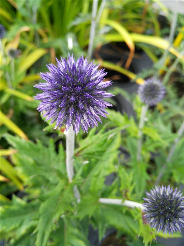 Echinops ritro Veitch's Blue picture 2