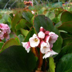 Bergenia cordifolia Eroica