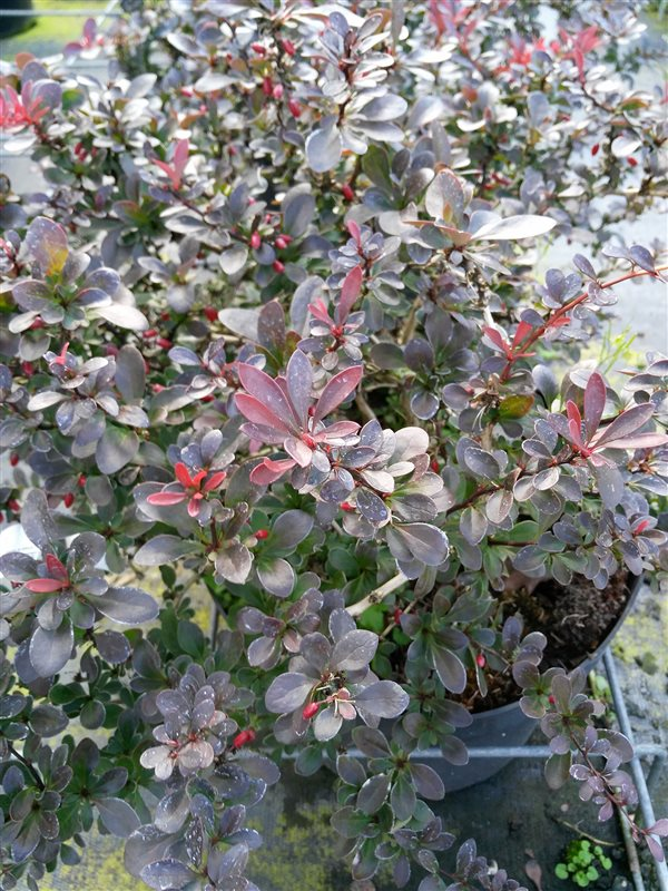 Berberis thunb. 'Atropurpurea Nana' picture 3