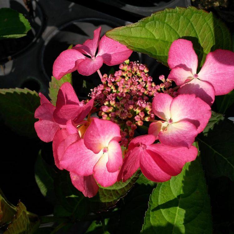 Hydrangea m. 'Selina' picture 2