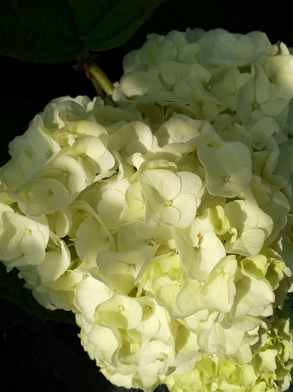 Hydrangea querc. Ice Crystal picture 2