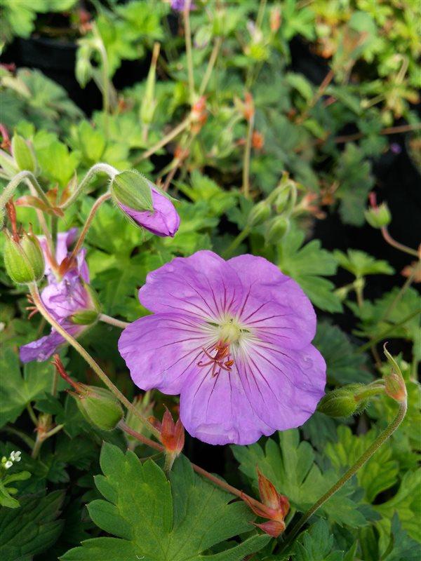 Geranium 'Azure Rush' picture 4