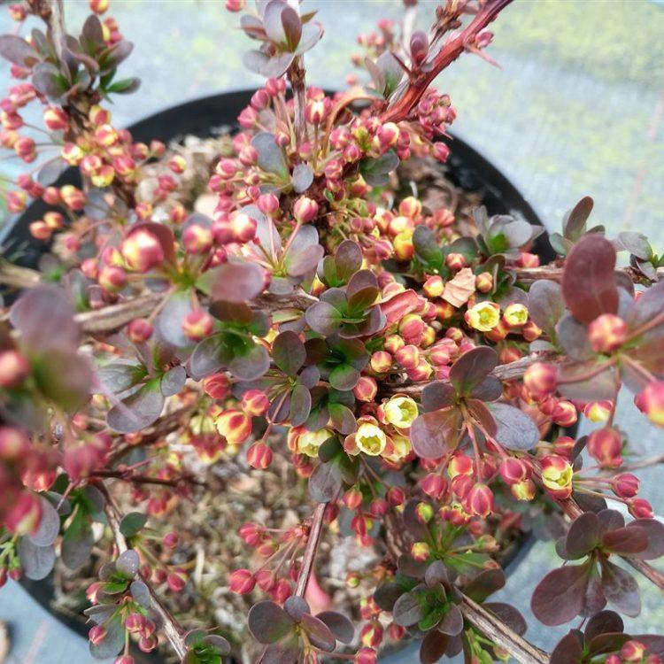 Berberis thunb. 'Atropurpurea Nana' picture 2