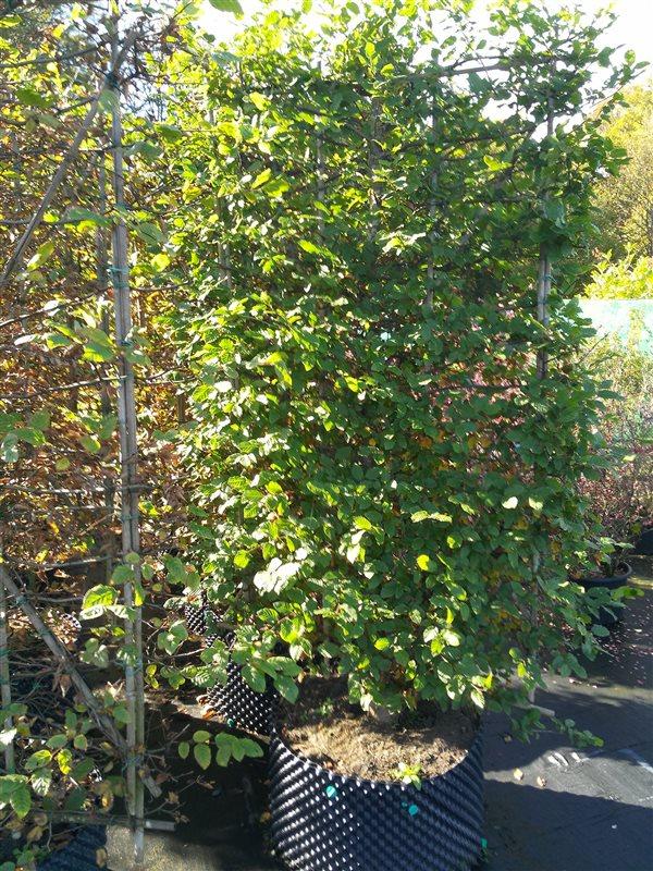 Carpinus betulus picture 2