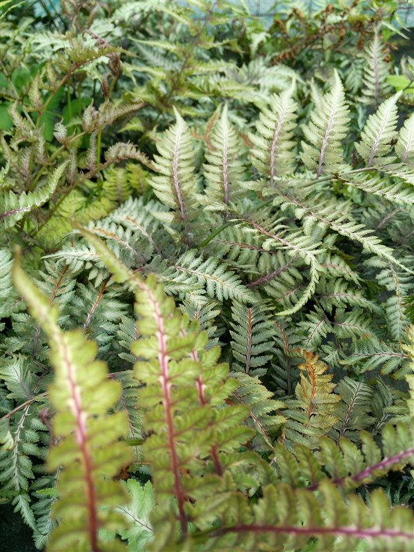 Athyrium niponicum Metallicum picture 3
